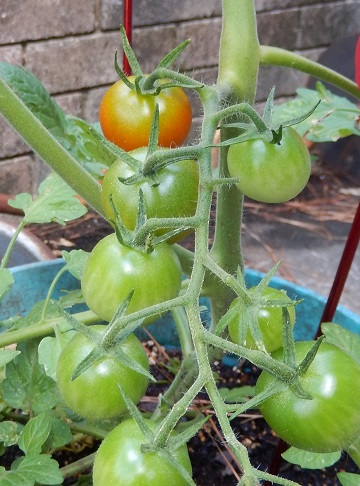 Fresh-grown tomatoes by Ms P Designs USA