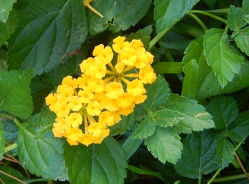 Yellow Lantana by Ms P Designs USA