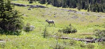 Bighorn sheep near Logan Pass GNP July 2019 by Sharon @ Ms P Designs USA