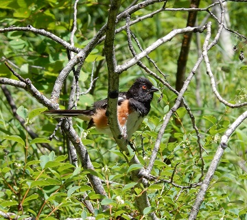 Black Headed Towhee on Sipes Trail July 2019 by Sharon @ Ms P Designs USA