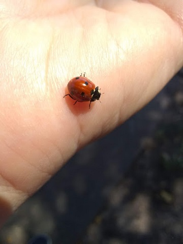 Ladybird beetle Bear Creek Park Houston by Sharon @ Ms P Designs USA