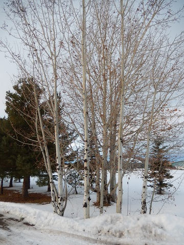 Paper WPaper White Birch Trees by Sharon @ Ms P Designs USA