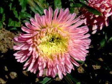 Double Aster flower