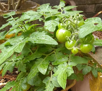 Tomatoes by Sharon @ Ms P Designs USA